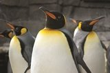 king_penguin